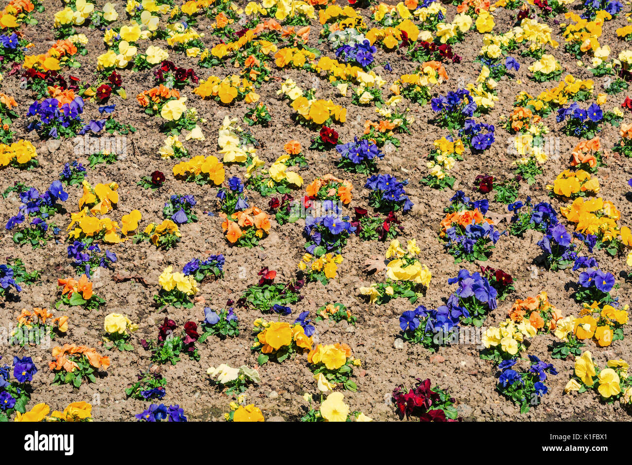 Mixed Pansies in the flowerbed Stock Photo