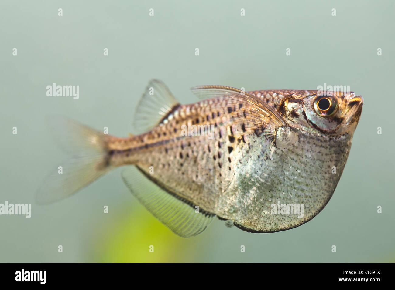 Aquarium fish Gasteropelecus sternicla - Stock Image