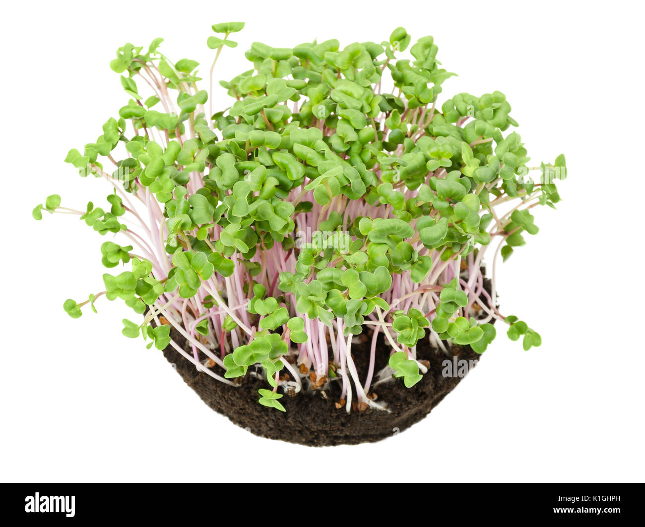 China Rose radish seedlings in potting compost from above. Sprouts, vegetable, microgreen. Chinese winter radish with smooth rose colored skin. - Stock Image