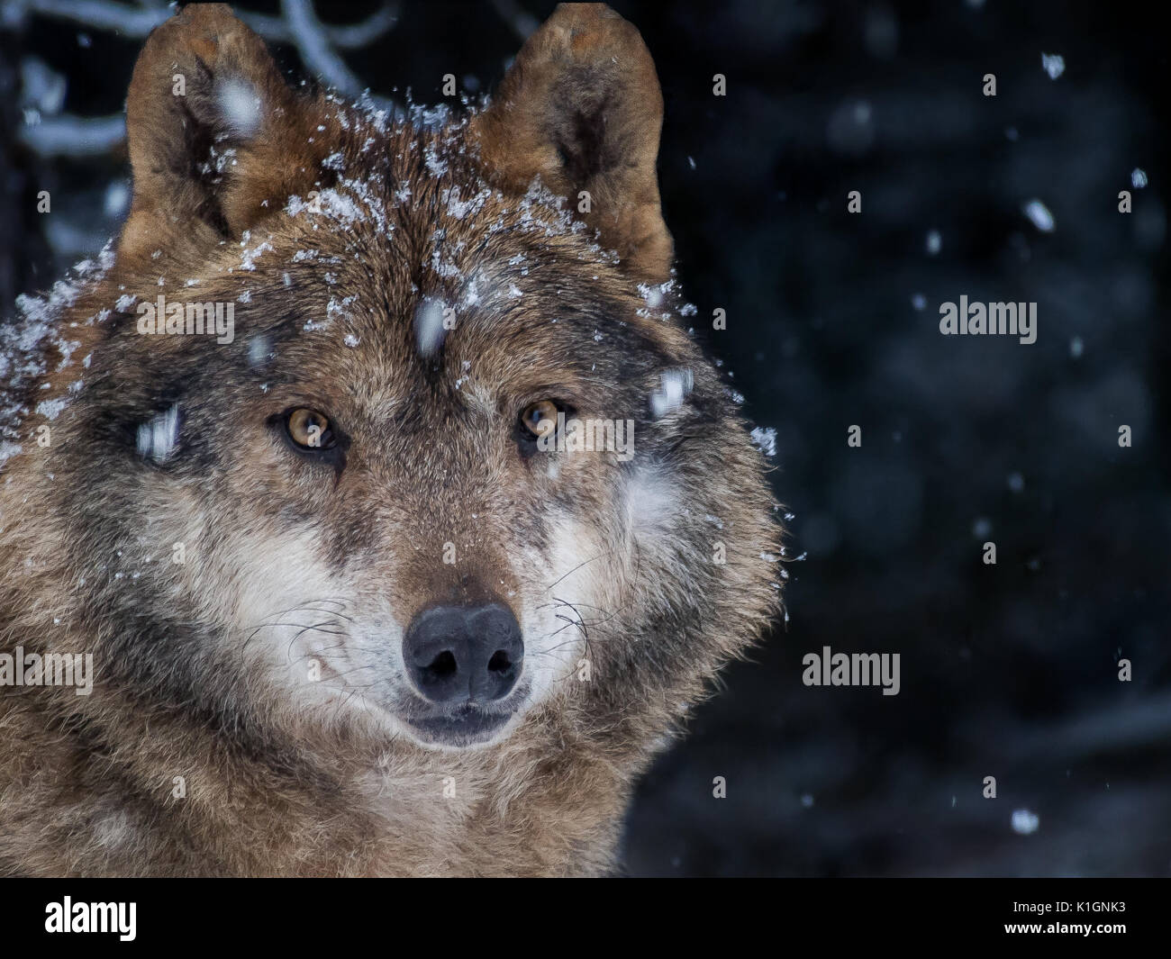Iberian wolf (Canis lupus signatus) in the snow in the forest in winter - Stock Image