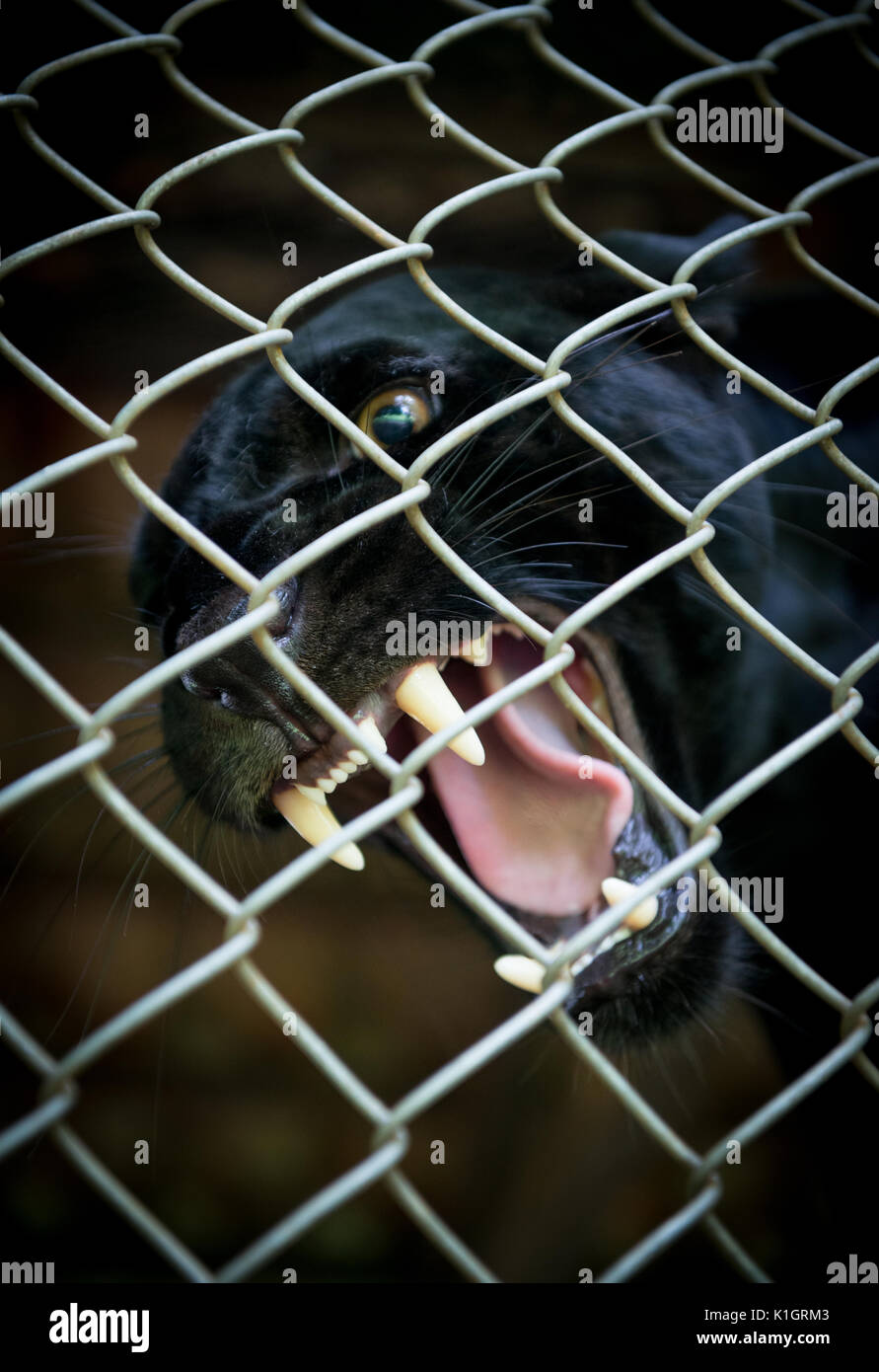 An angry Black Jaguar snarling inside an enclosure - Stock Image