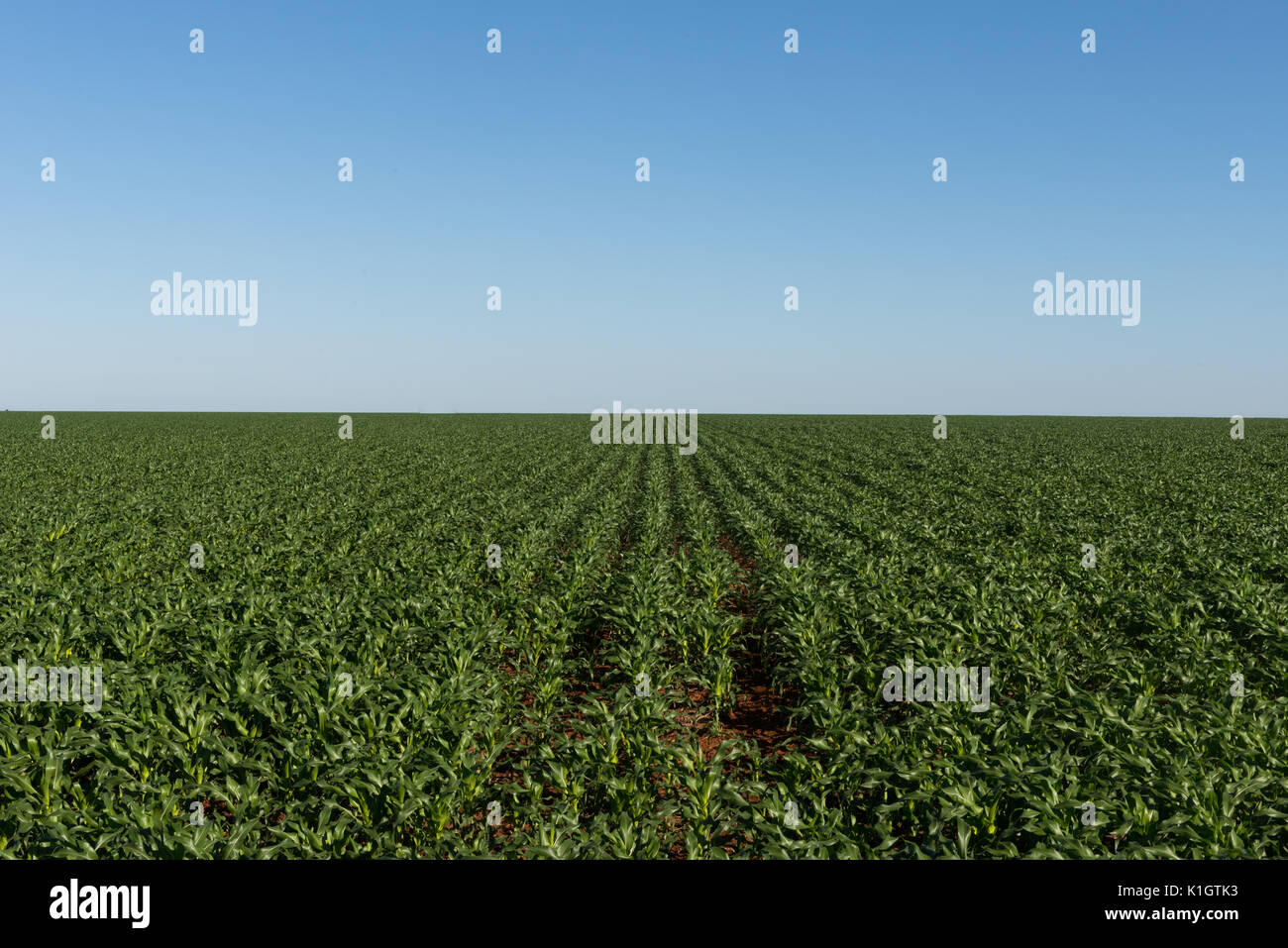 Huge corn fields in Mineiros, Goiás, Brazil - Stock Image