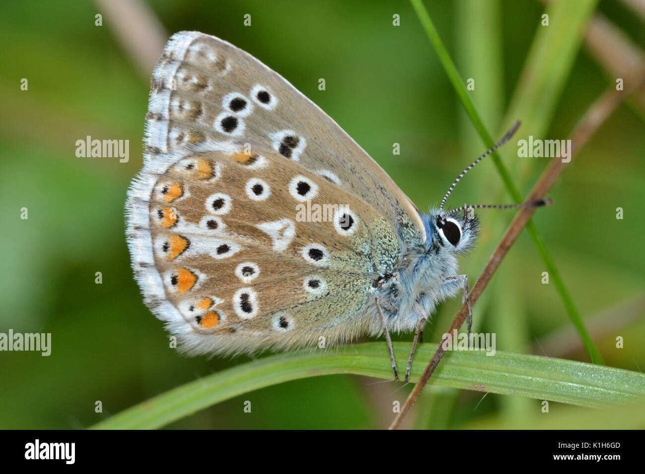 Adonis blue, underside whilst roosting, polyommatus bellargus, in the Chilterns, Sourthern England - Stock Image