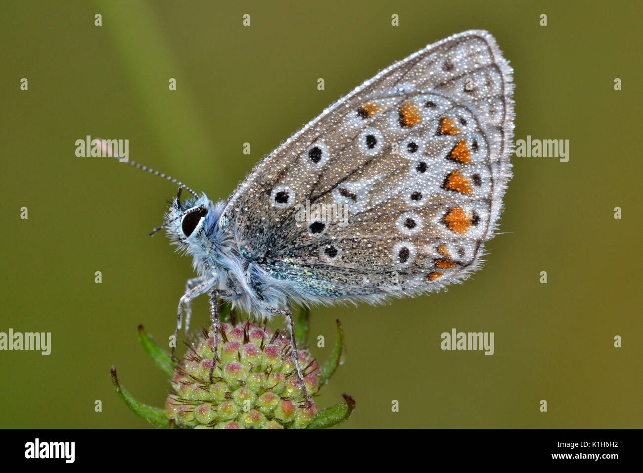 Common Blue butterfly, Chilterns, England, roosting and covered in morning dew. Polommatus icarus. - Stock Image