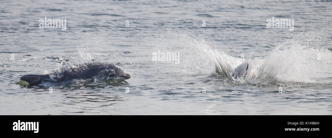 Bottlenose dolphins surging through the surf of the Moray Firth - Stock Image