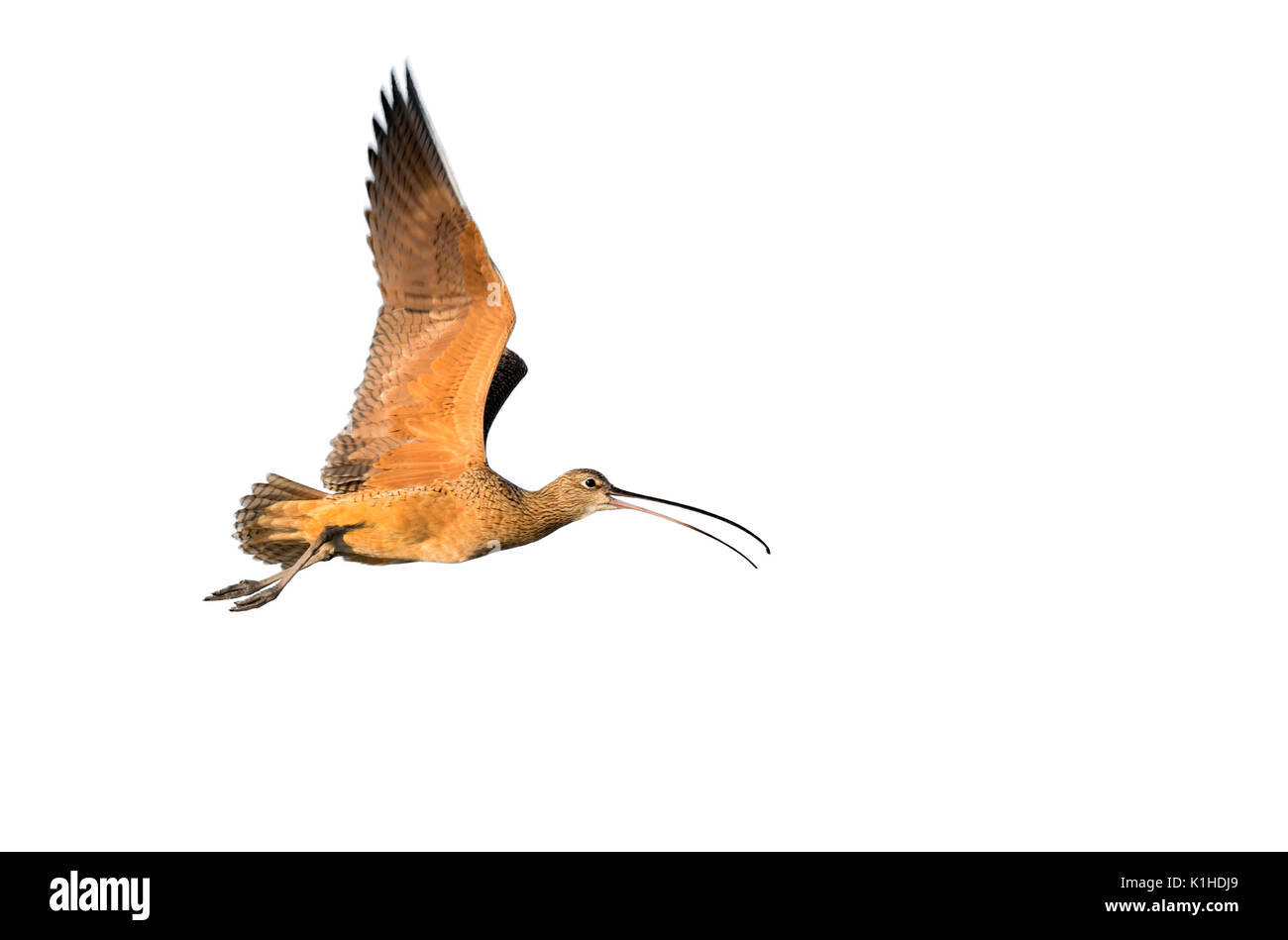 Long-billed curlew (Numenius americanus) flying, isolated on white background. - Stock Image