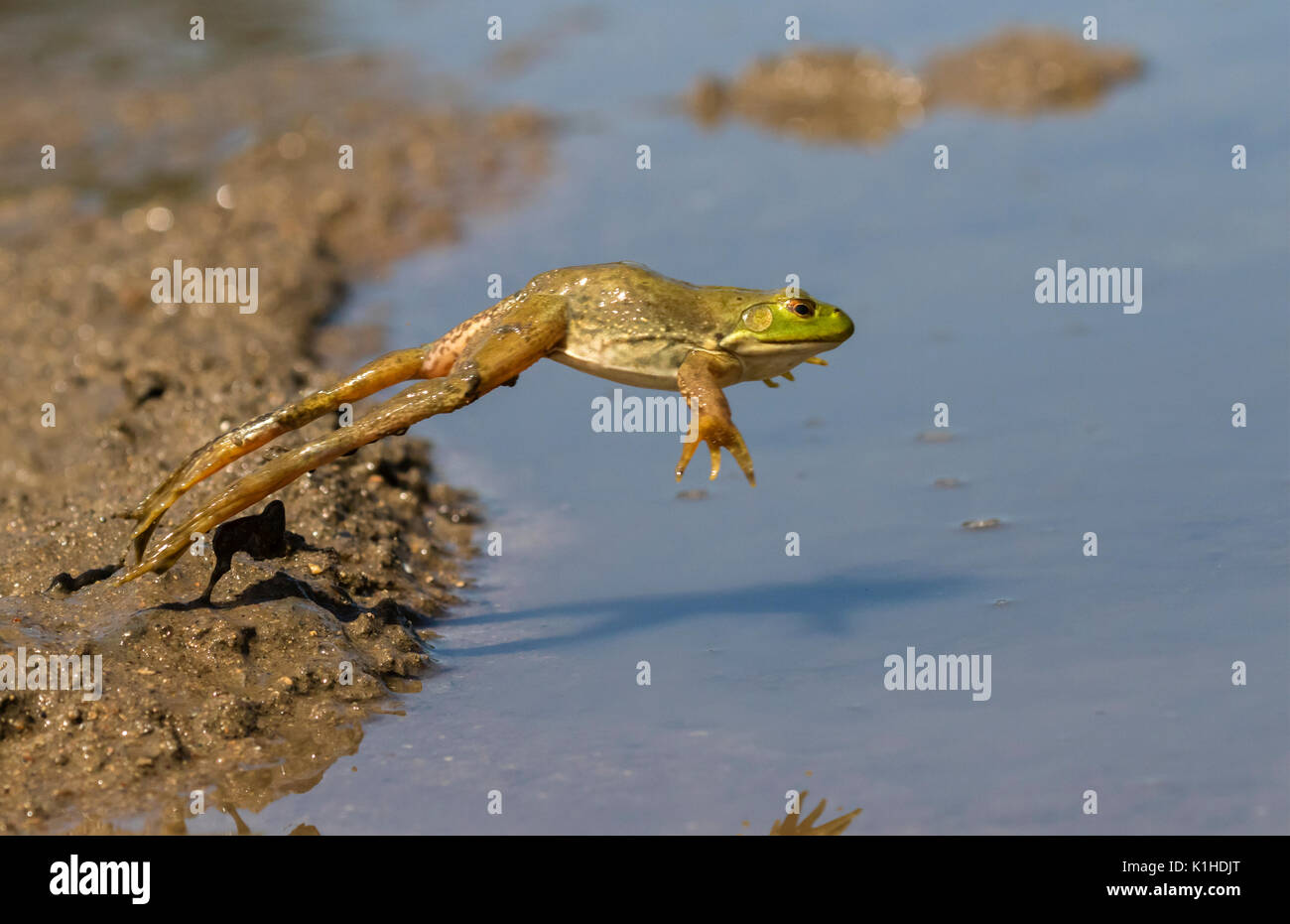 American bullfrog (Lithobates catesbeianus) jumping in a forest lake, Ames, Iowa, USA - Stock Image