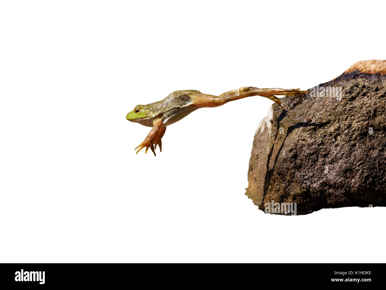 Adult American bullfrog (Lithobates catesbeianus) jumping, isolated on white background. - Stock Image