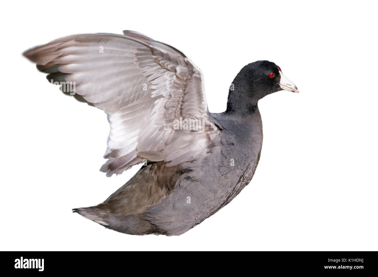 American coot (Fulica americana) streching wings, isolated on white background. - Stock Image
