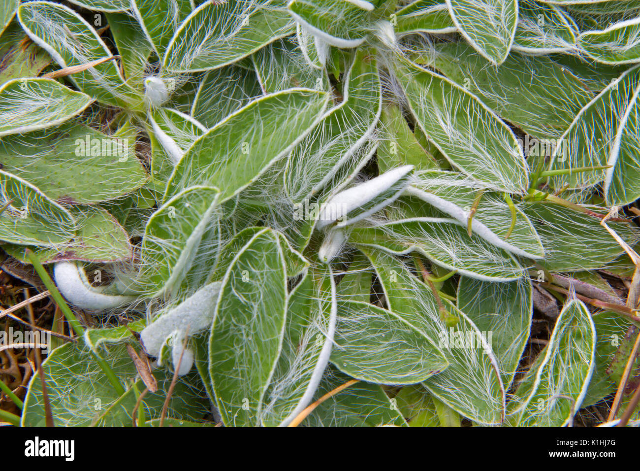 The hairy leaves of Mouse-ear hawkweed Stock Photo