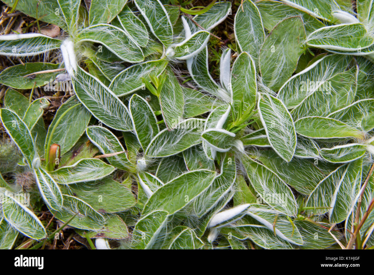 The hairy leaves of Mouse-ear hawkweed - Stock Image