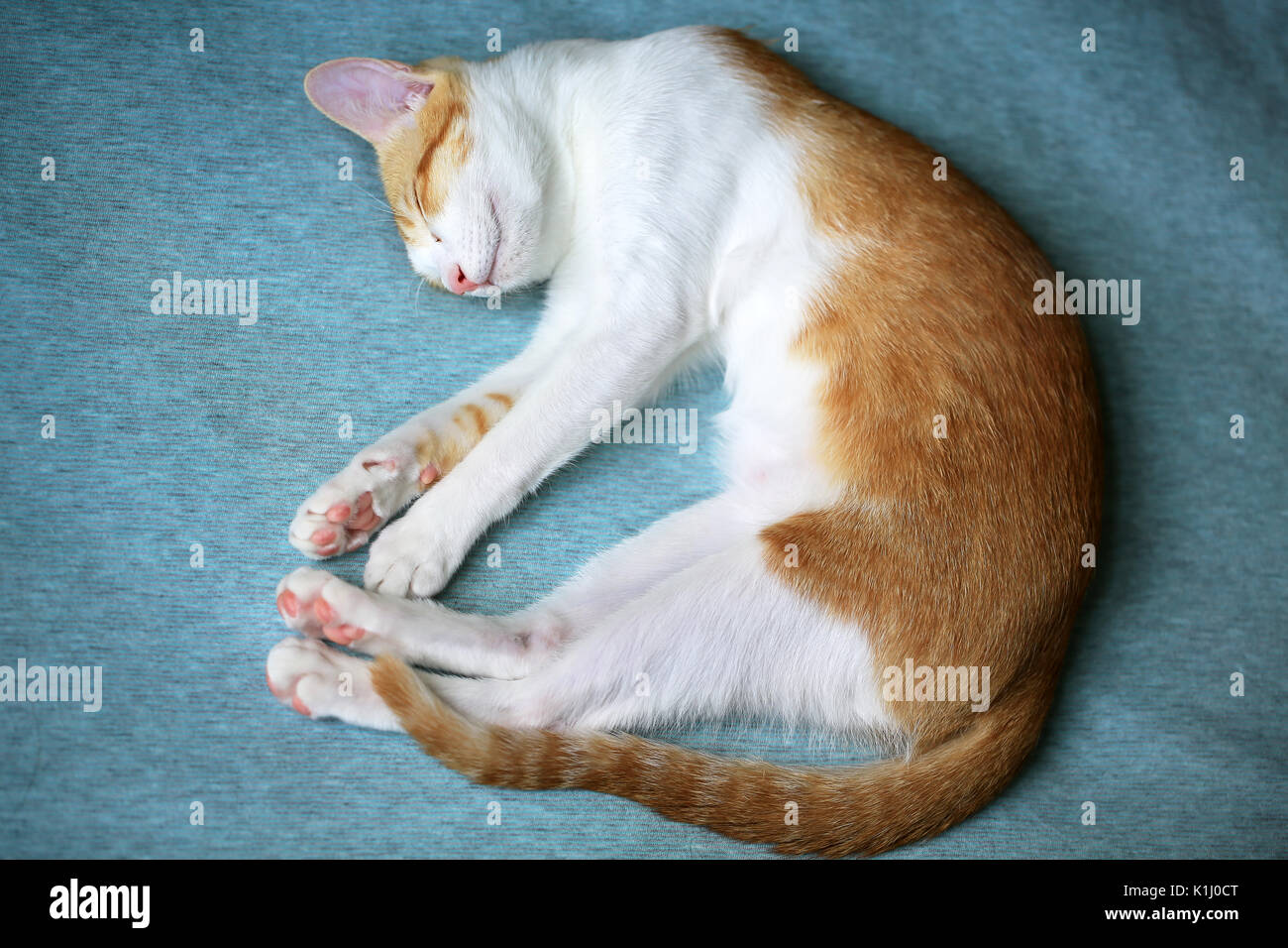 ginger white cat sleep on the bed - Stock Image