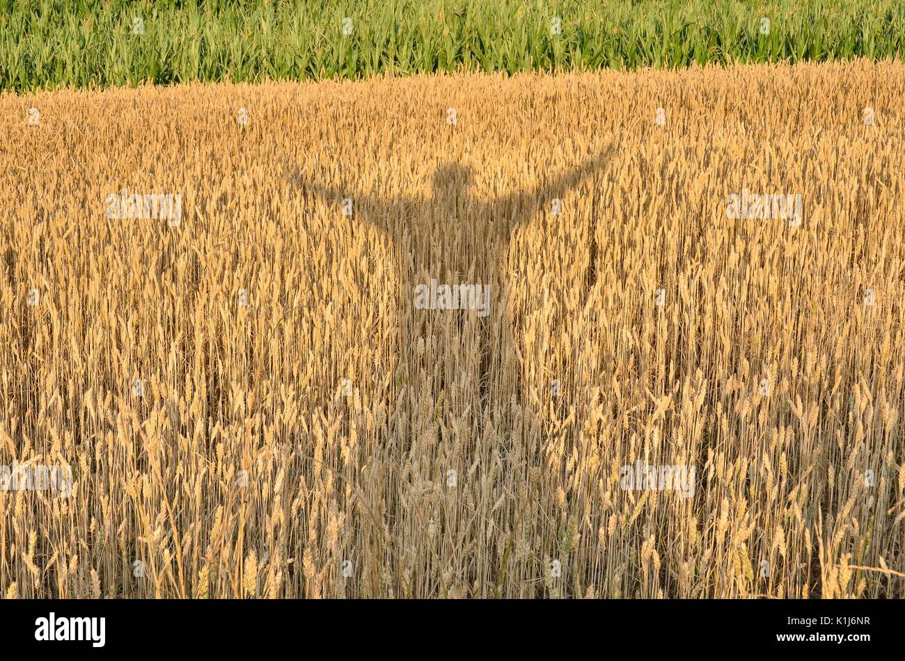 Silhouette enjoying the crop. Shadow of a man with his hands raised on a grain field. Stock Photo