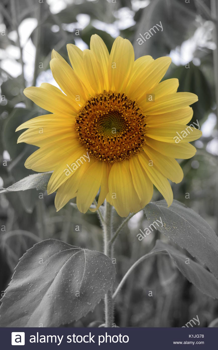 Single Summer Yellow Sunflower With Black And White Background