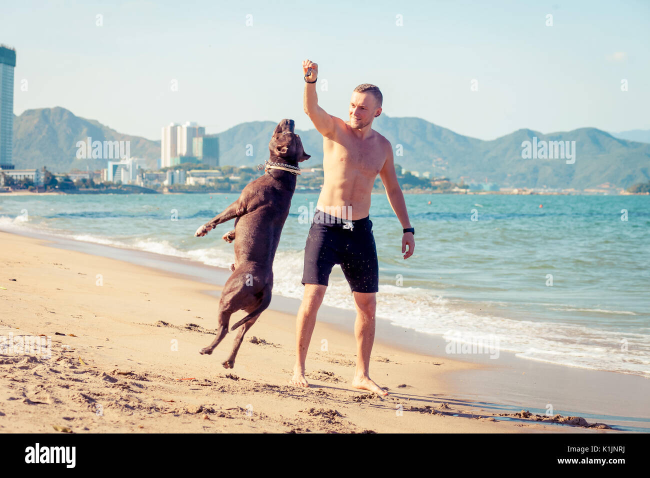 Man playing with dog american pit bull terrier on beach. Dog jumps high - Stock Image