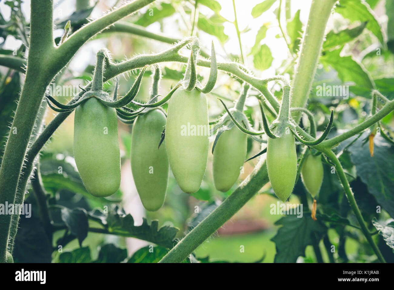 San Marzano tomatoes, unripe and with sun flare in the background. - Stock Image