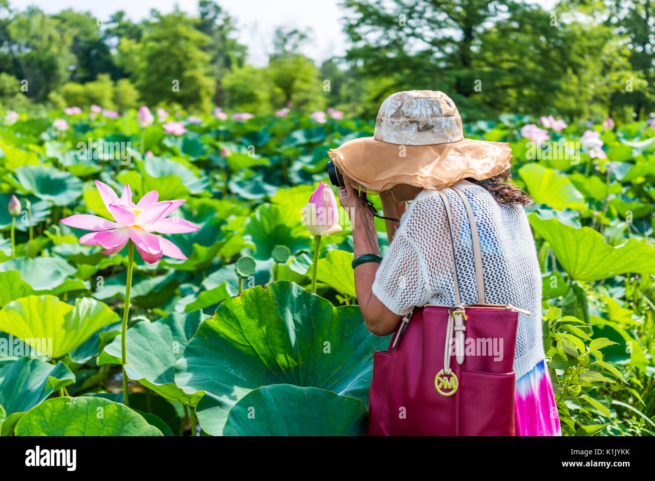 Pink lotus flowers stock photos pink lotus flowers stock images washington dc usa july 23 2017 bright white and pink lotus flowers izmirmasajfo