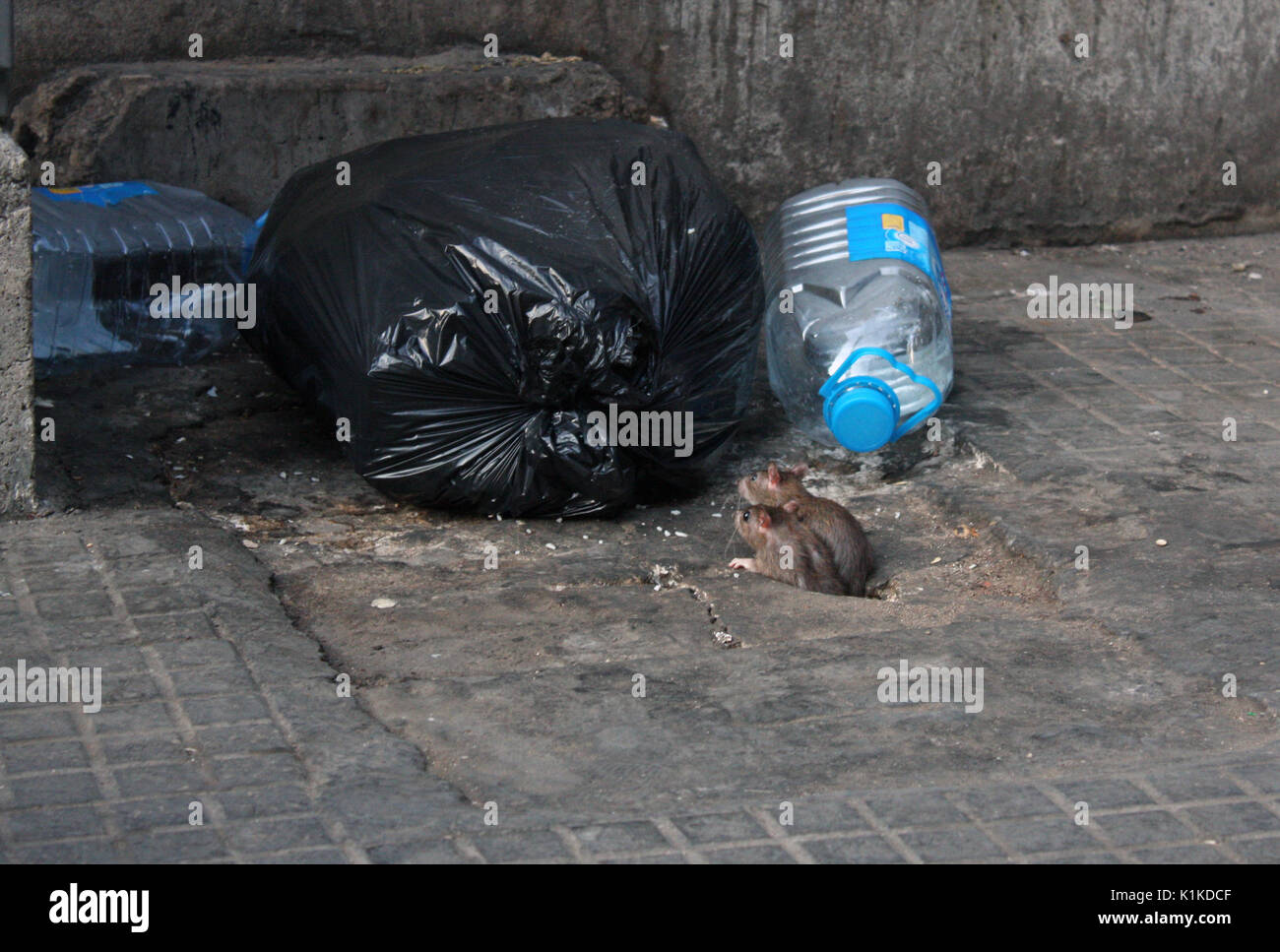 Two rats in the city examining a garbage bag - Stock Image