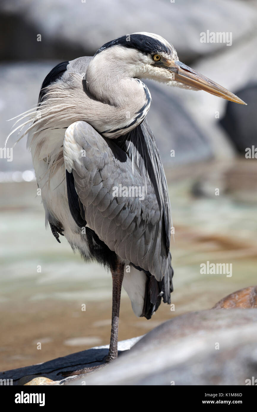 Grey heron (Ardea cinerea), standing on one leg, Baden-Württemberg, Germany - Stock Image
