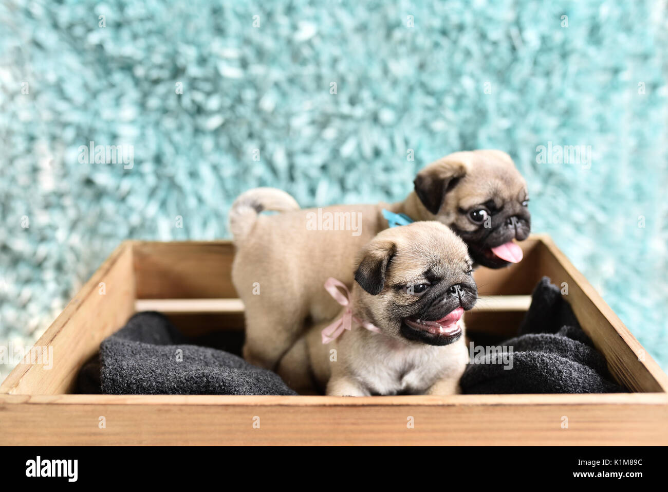 Two happy pug puppies sitting in a box. Pugs have tongues out. Brother with sister. - Stock Image