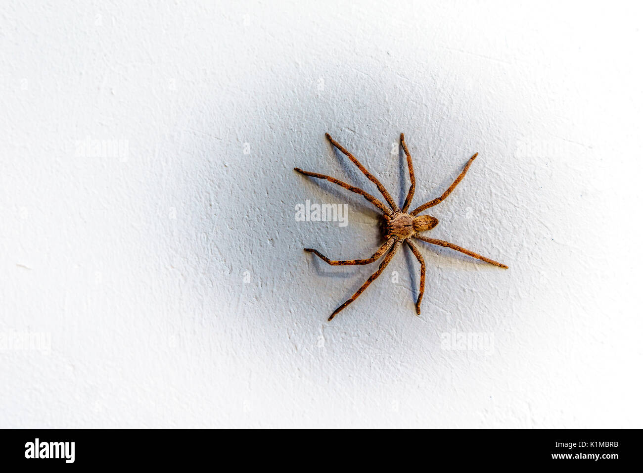 Rain Spider climbing up a white stucco wall on a house in Montagu in the Western Cape province of South Africa - Stock Image
