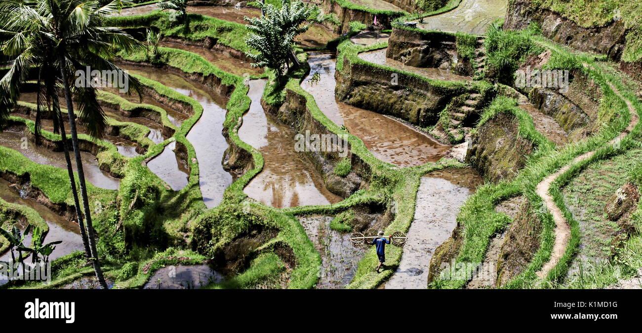 Tegallalang Rice Paddies in Bali Island - Stock Image