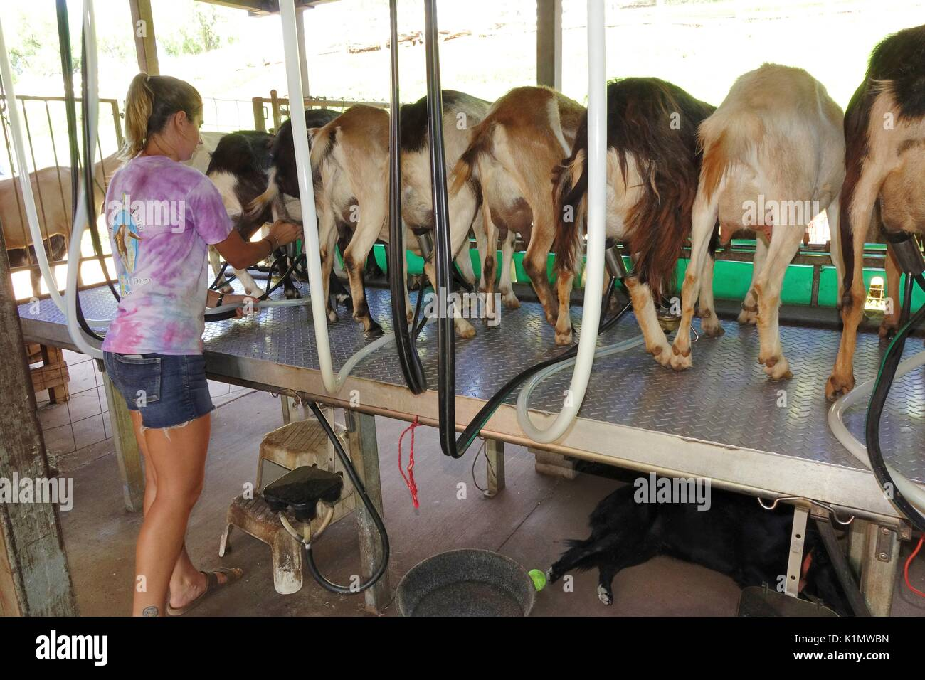 Goats being milked by machine, Surfing Goat Dairy, Kula, Maui, Hawaii - Stock Image