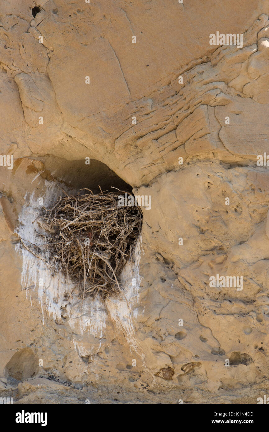 Close up a large bird's nest made in a sandstone cubbyhole and filled with twigs and branches. - Stock Image