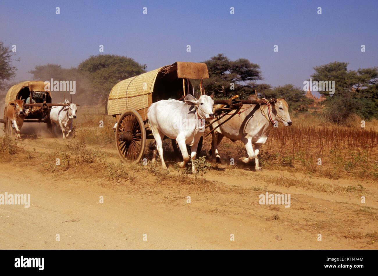 Bullock carts on dusty track, Pagan (Bagan), Burma (Myanmar) - Stock Image
