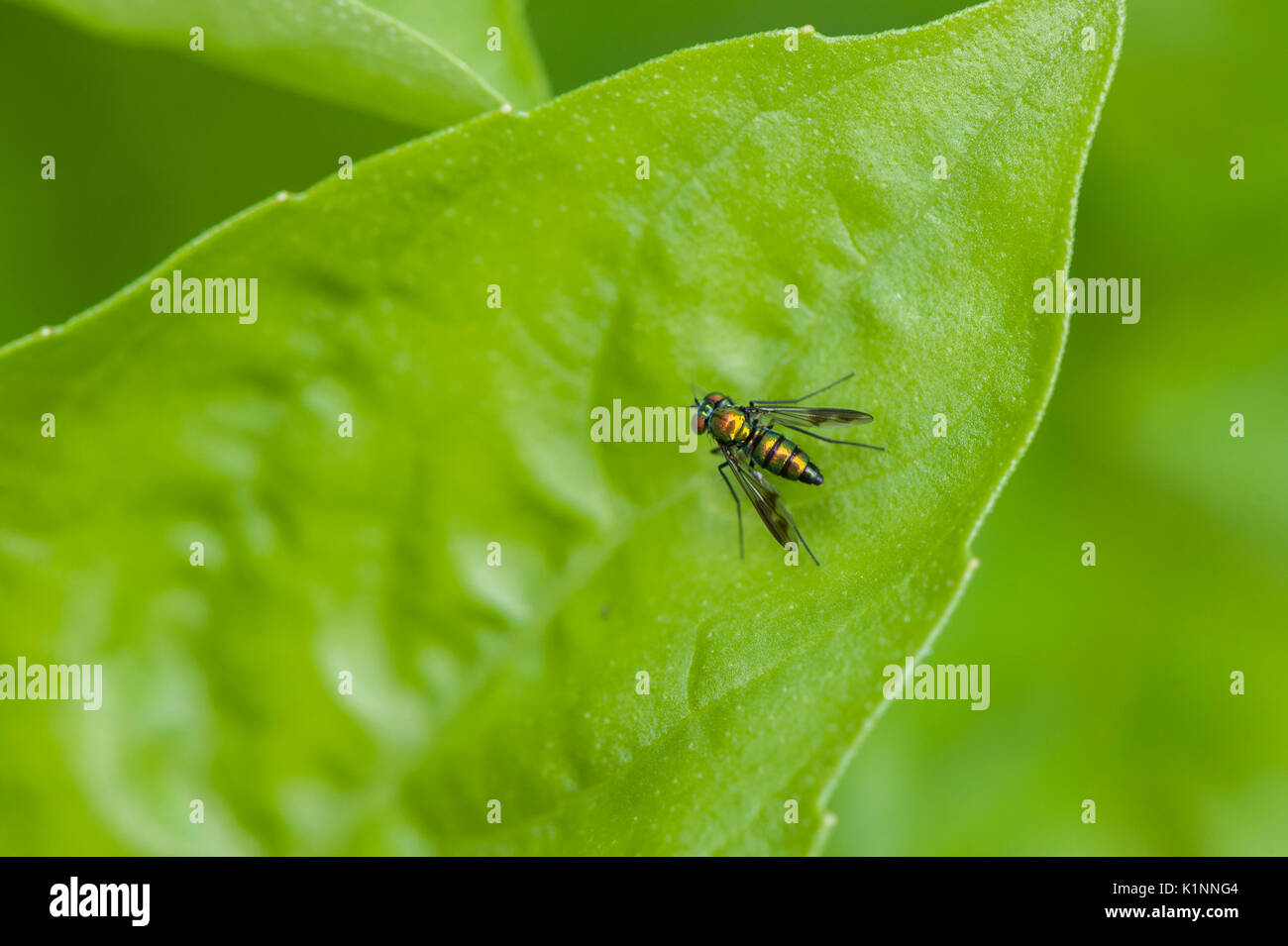 A metallic green sweat bee rests on a basil leaf. - Stock Image