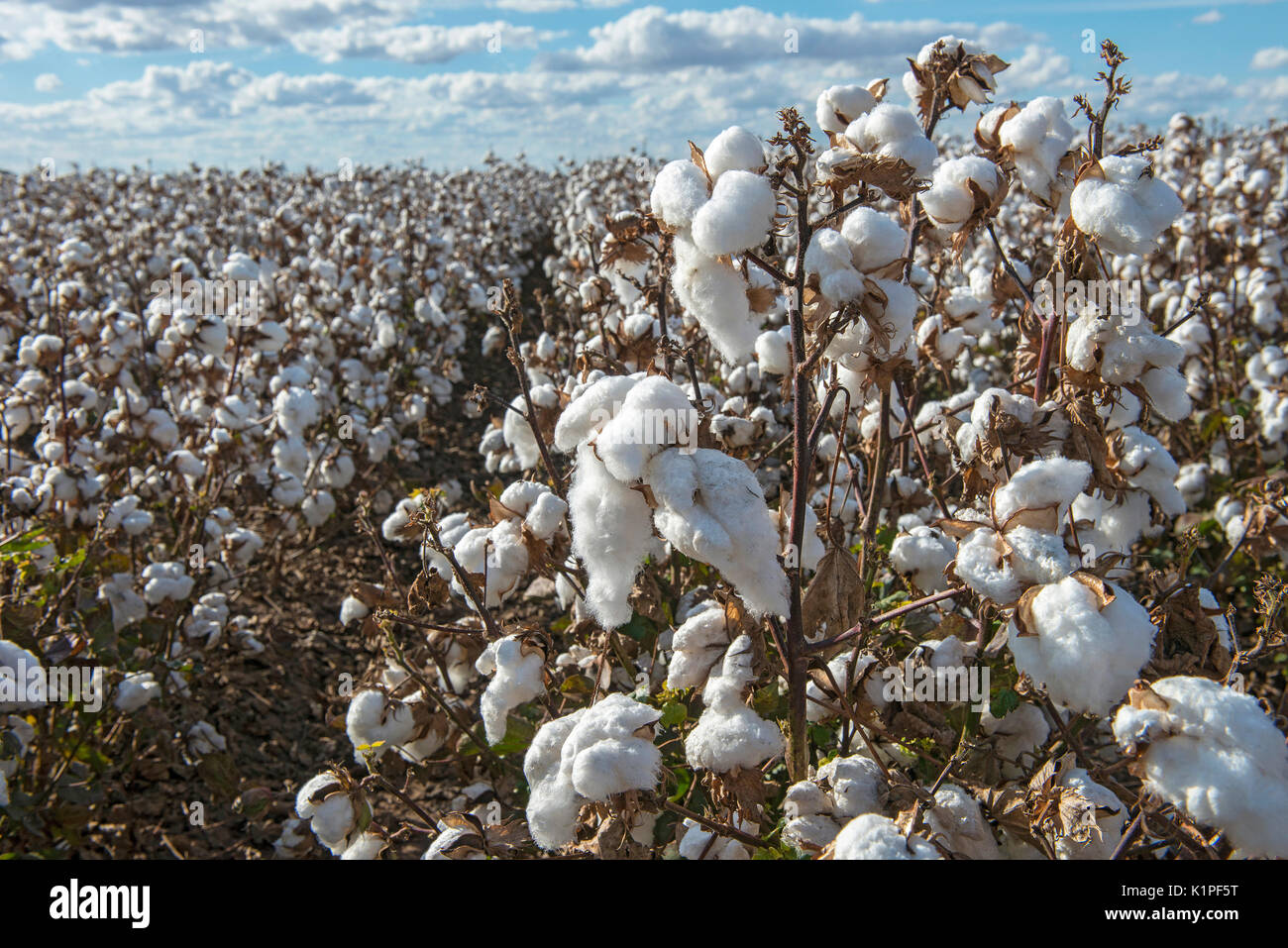 cotton field in Australia - Stock Image