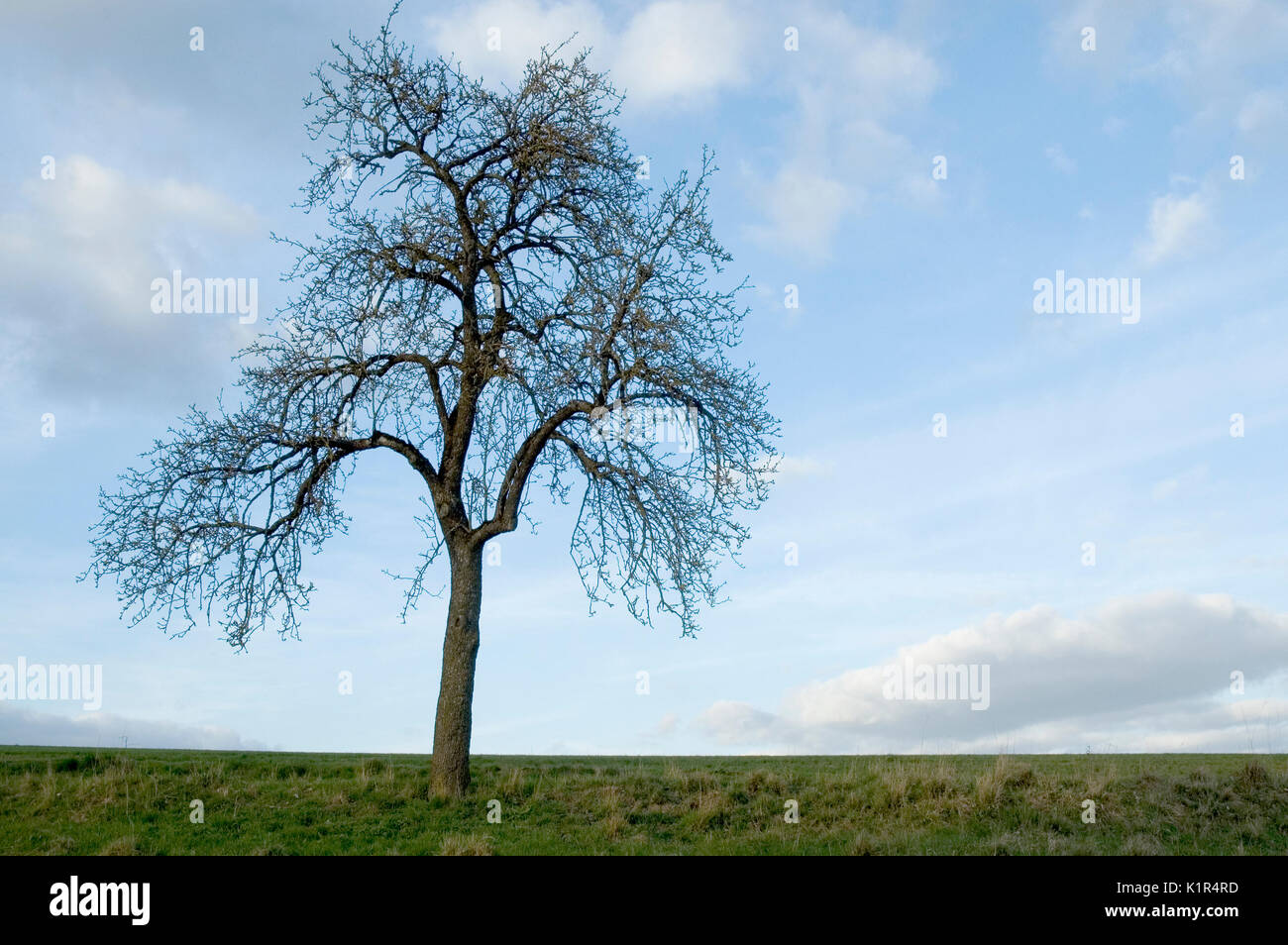 leafless tree in spring - Stock Image