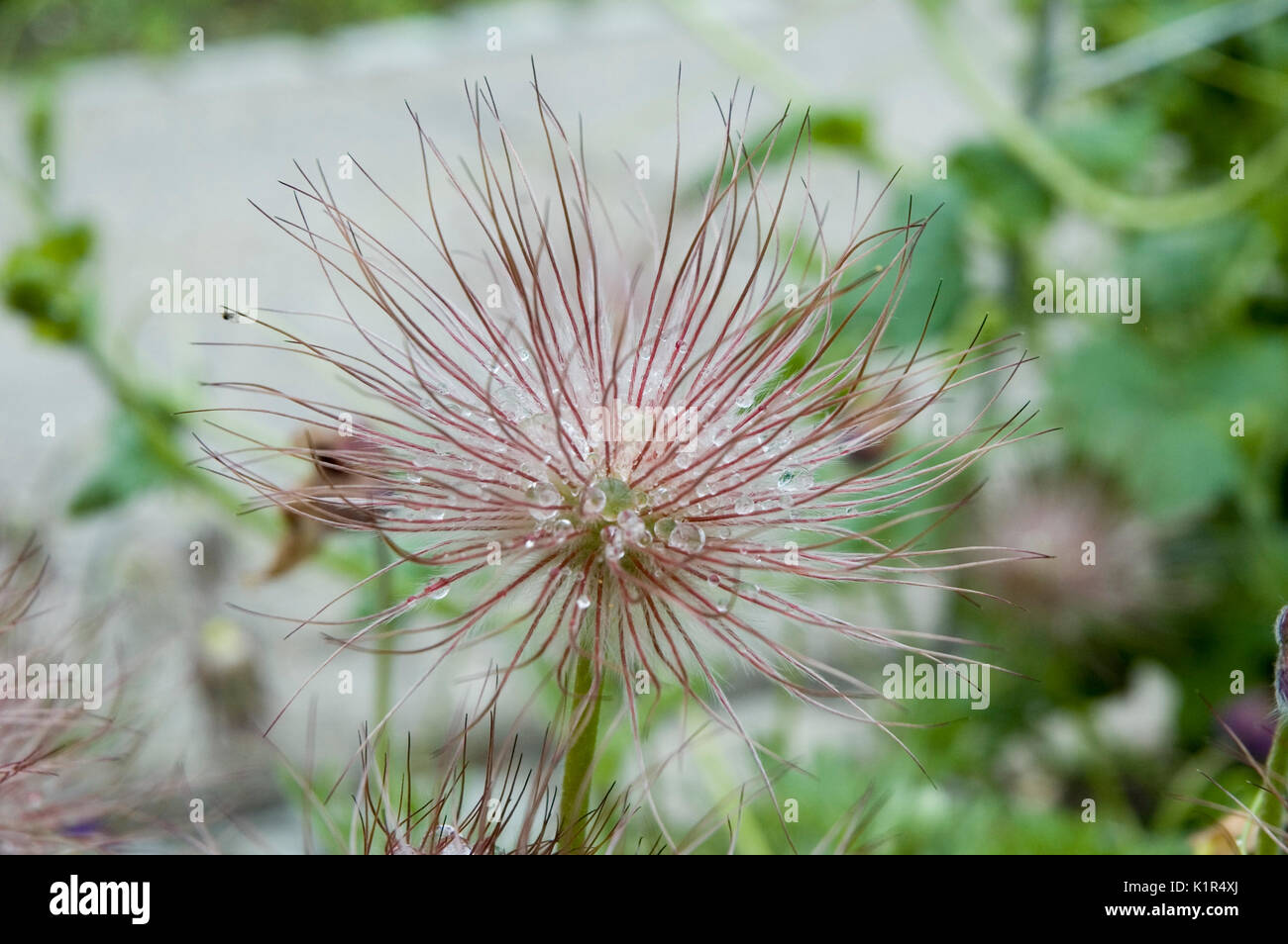 plumed seed head of a pasque flower - Stock Image