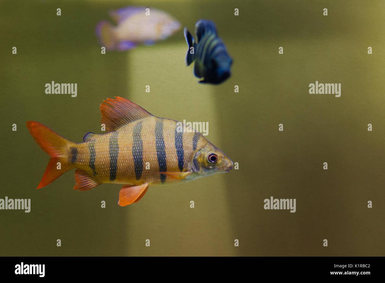 Distichodus lusosso fish. Longsnout distichodus. Freshwater tropical creature, striped yellow fish with orange fins. toned textured vintage paper, soft focus - Stock Image