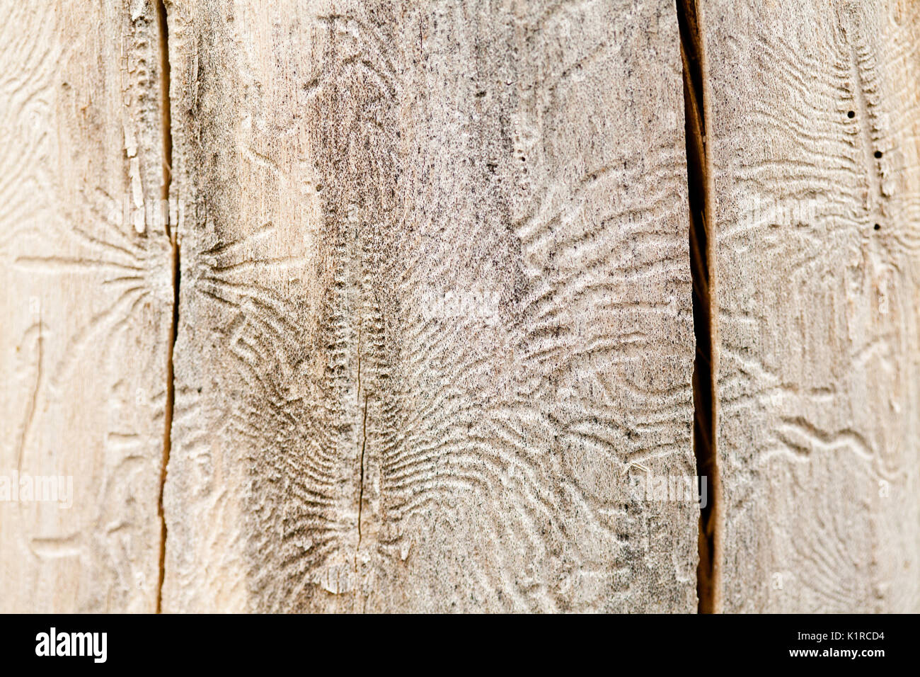 Bark beetle galleries on the tree Stock Photo
