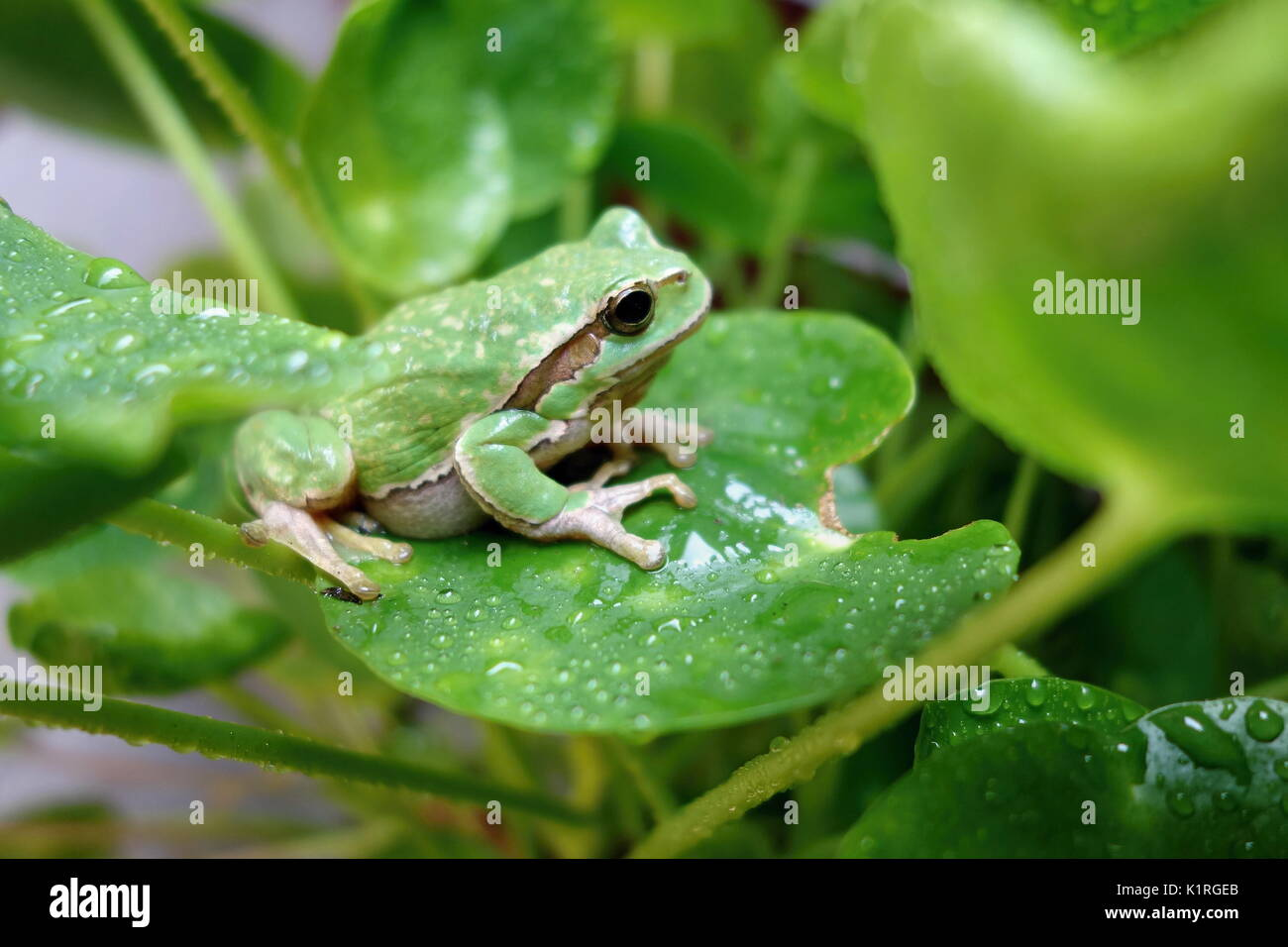 Nice green amphibian European tree frog, Hyla arborea, sitting on grass habitat. Stock Photo
