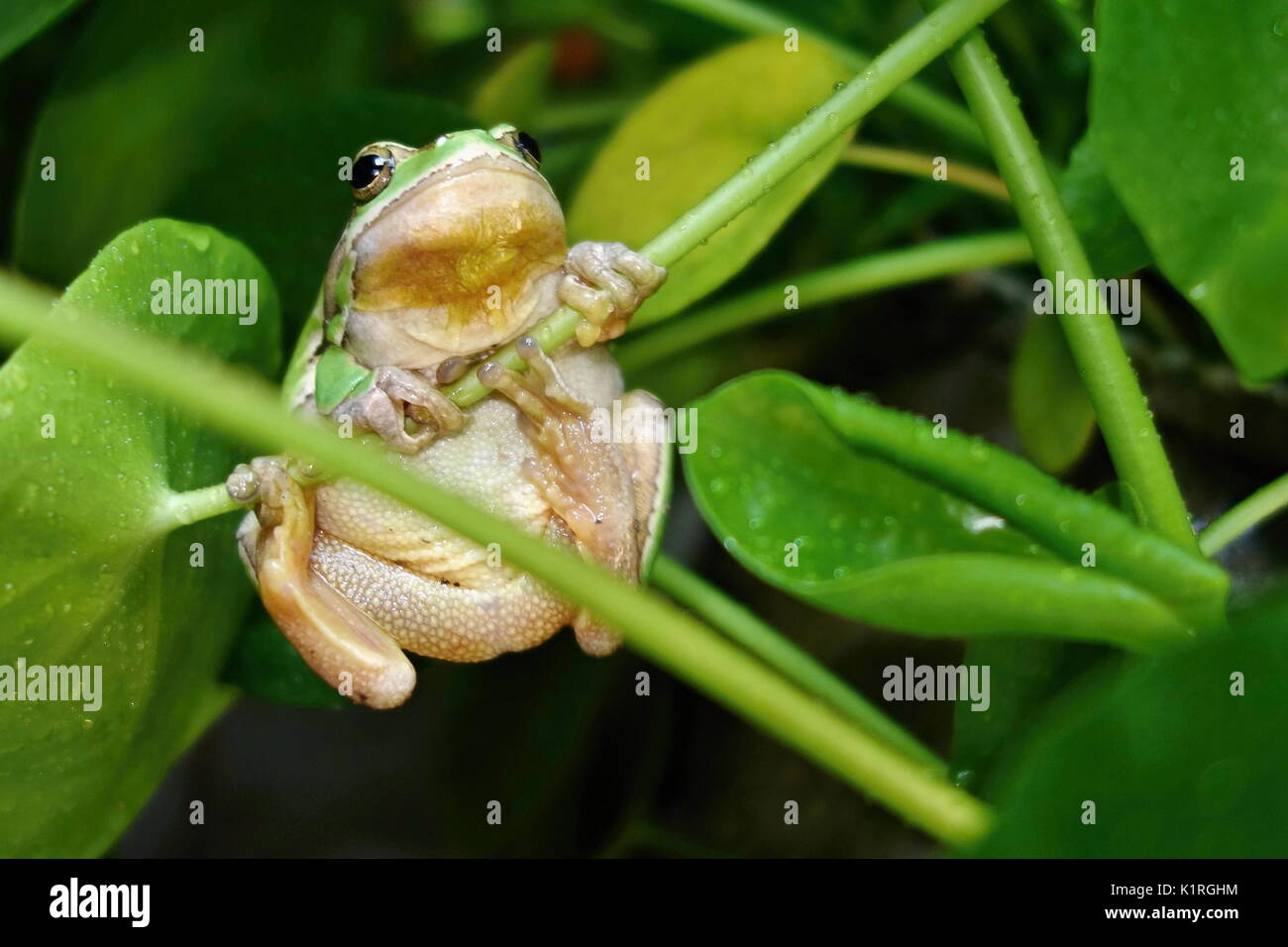 Nice green amphibian European tree frog, Hyla arborea, sitting on grass habitat. - Stock Image