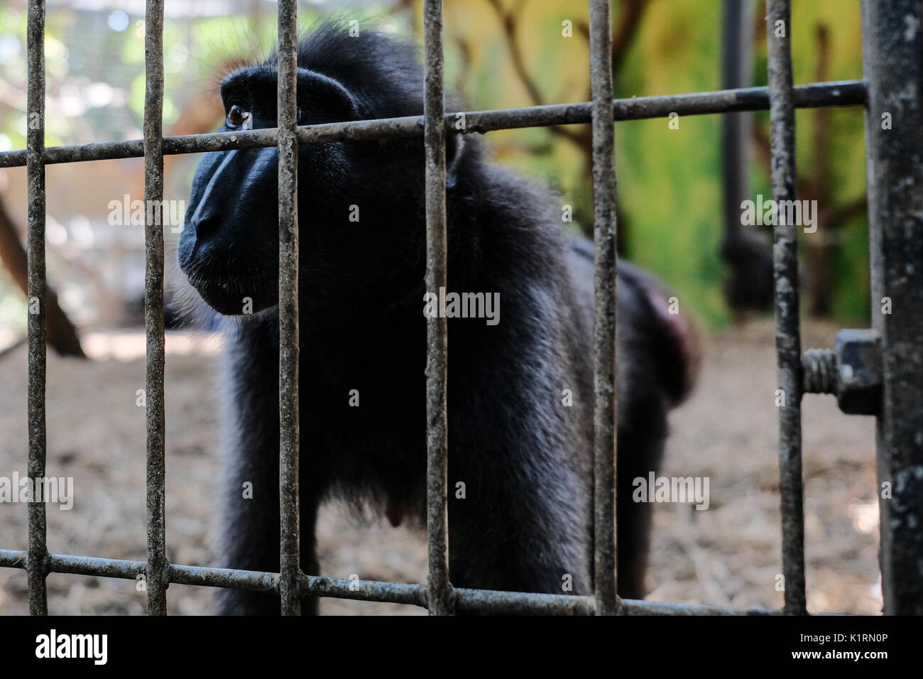 Ramat Gan, Israel. 27th August, 2017. Niv, a female, four year old Sulawesi Crested Macaque, demonstrates her maternal instincts with the adoption of a chick, which has entered the enclosure shared by Niv and her mother, Nati, at the Safari Zoological Center. Niv has been spotted hugging, grooming and feeding the chick, while the chick runs to her arms when startled and seeking security. The Sulawesi Crested Macaque, from the island of Sulawesi, Indonesia, is critically endangered with only about 6,000 individuals in the wild. Credit: Nir Alon/Alamy Live News - Stock Image