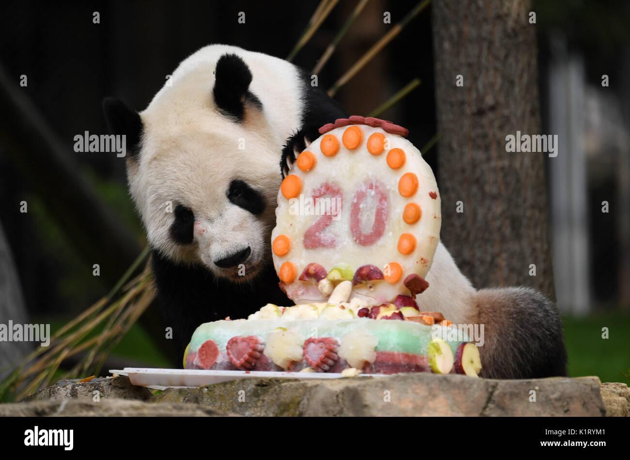 Giant Panda Tian Enjoys Birthday Cake