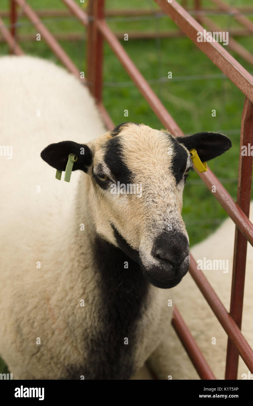 Badger Face Torddu Welsh mountain sheep ewe an ancient breed with it s  distinctive black belly and striped facial markings originating in Wales 7708e9c97