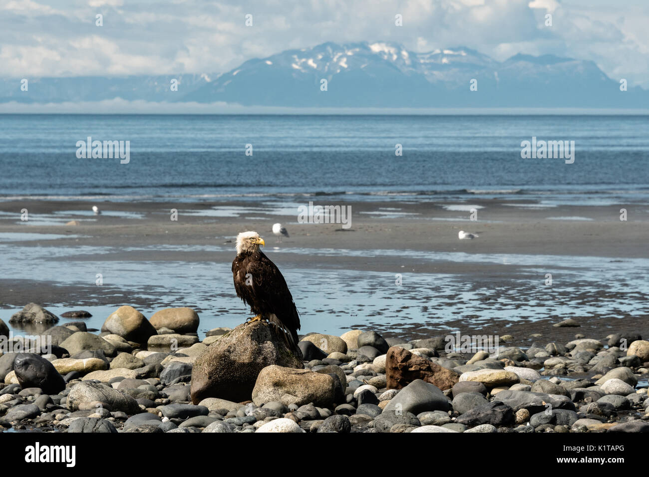 An adult bald eagle perched on a rock looking toward the Chigmit Mountains along the beach on the Cook Inlet at Anchor Point, Alaska. - Stock Image