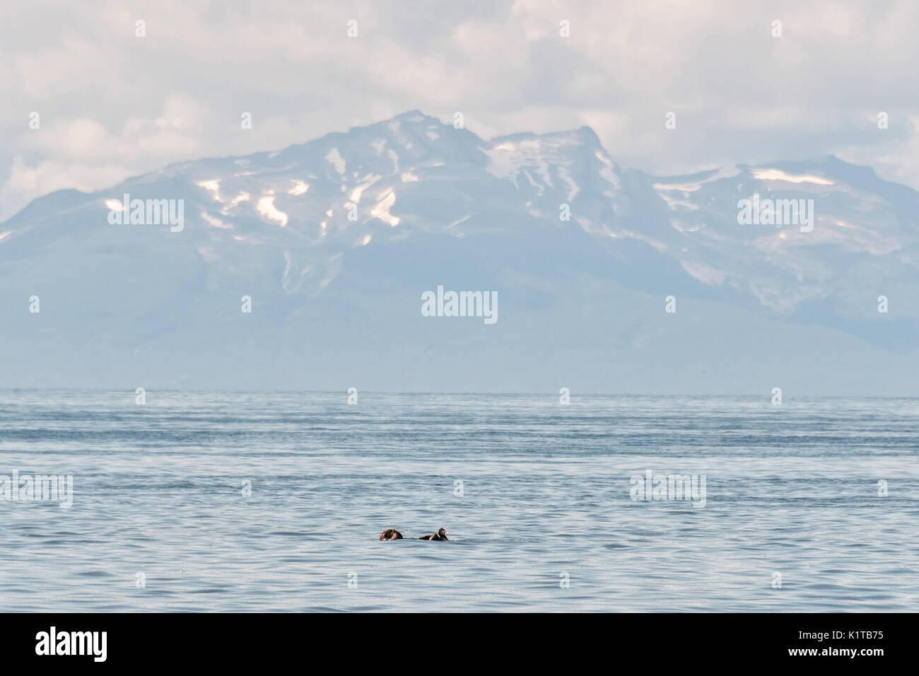 A sleeping sea otter floats down the Cook Inlet past the Chigmit Mountains at Anchor Point, Alaska. - Stock Image