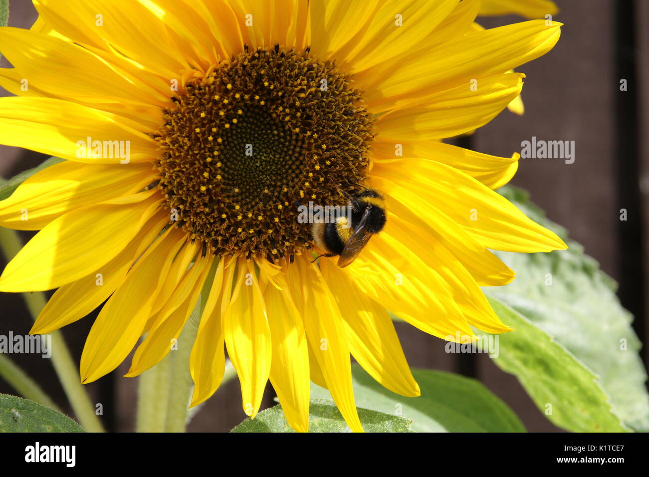 a close up of a blooming sunflower with green leaves and a bee pollinating - Stock Image