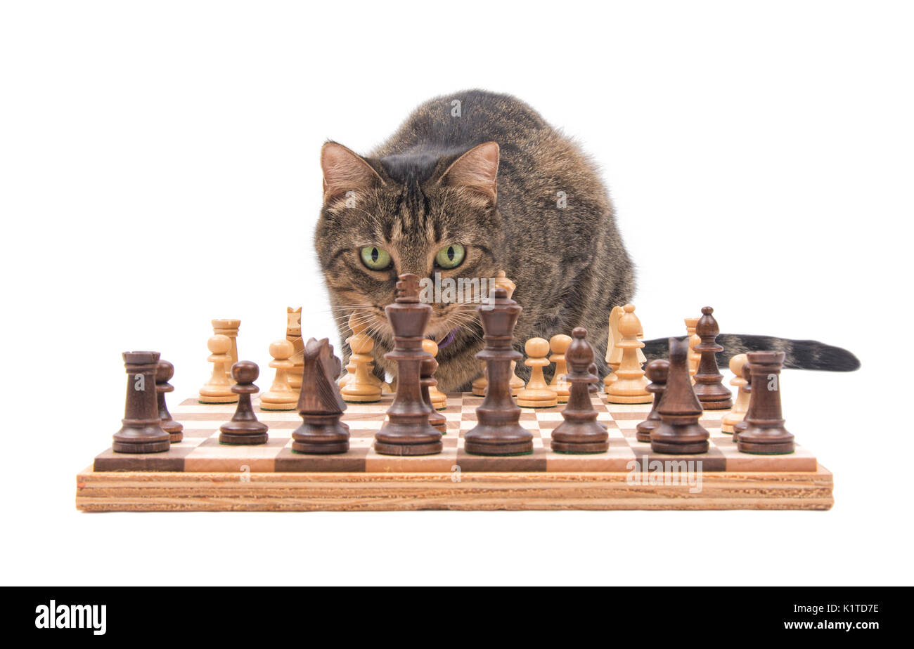 Brown tabby cat looking across chess board, crefully contemplating her next move, isolated on white - Stock Image