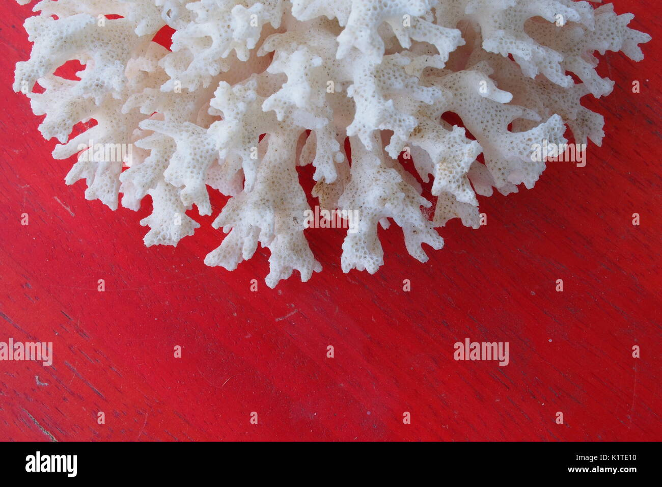 Bleached coral on a red table. - Stock Image