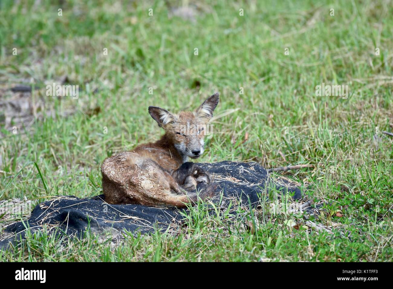 Sick and injured red fox (Vulpes vulpes) - Stock Image