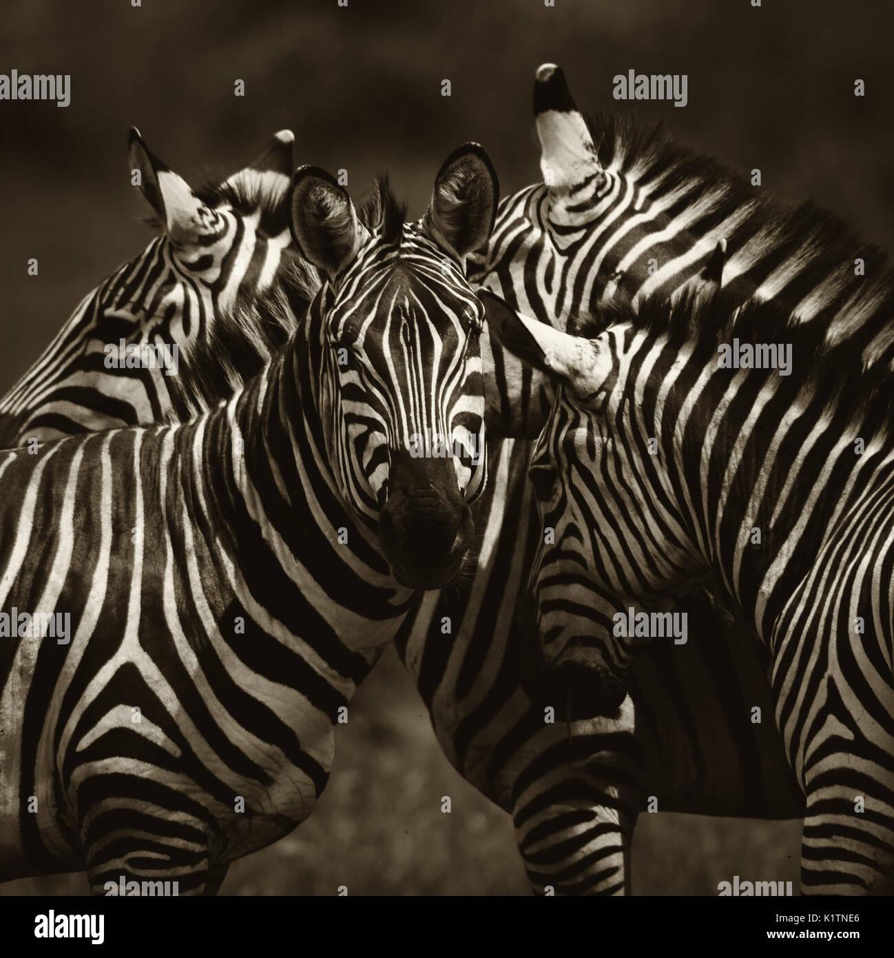 Plains Zebra - Equus quagga, Tsavo East, Kenya - Stock Image