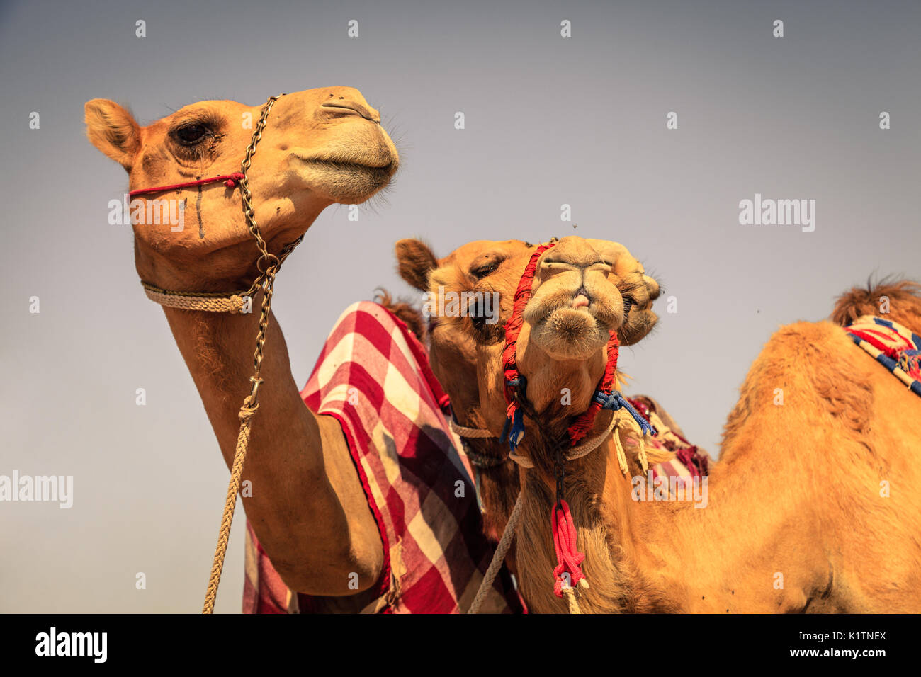 Racing camels at Dubai Camel Racing Club, UAE - Stock Image