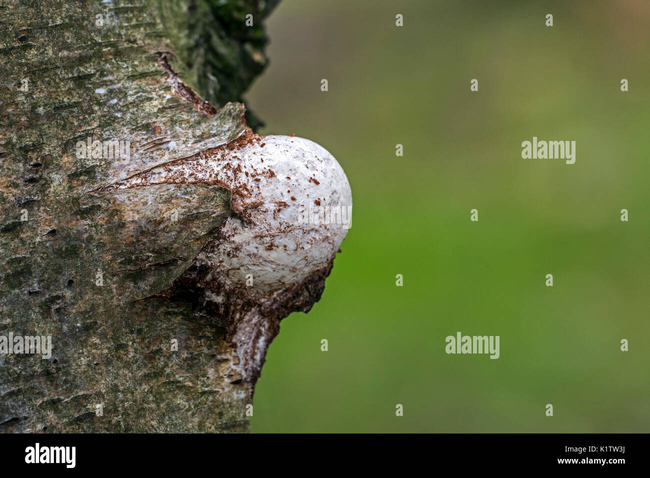 Emerging fruiting body / basidiocarp of birch polypore / birch bracket / razor strop (Piptoporus betulinus) bursting through birch tree bark - Stock Image