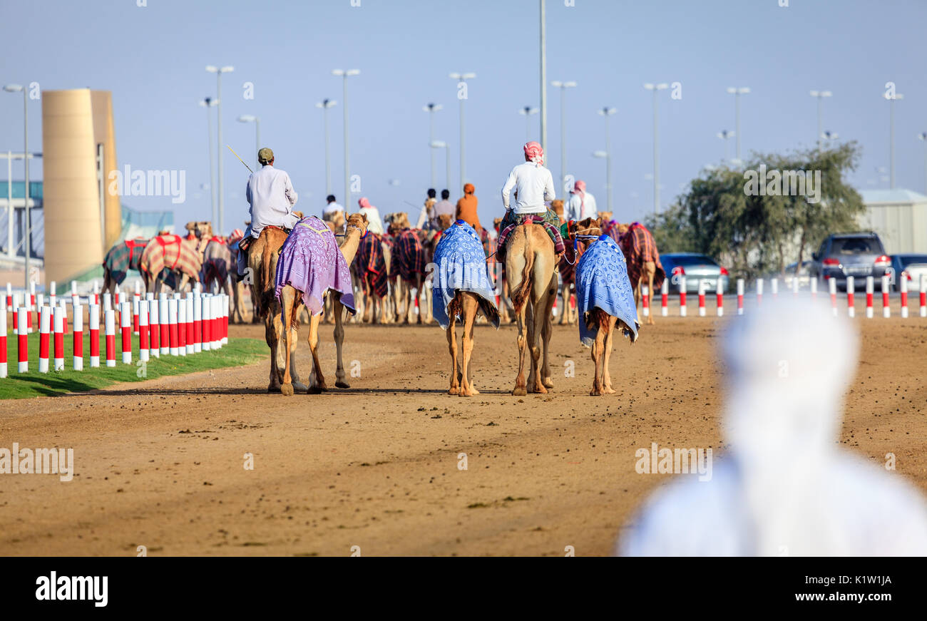 Dubai, United Arab Emirates - March 25, 2016: Camel handlers are taking the animals for the race practice at Dubai Camel Racing Club - Stock Image